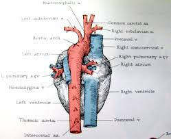Heart Anatomy And Function Fetal Pig Heart Anatomy Image Collections Learn Human Anatomy Image
