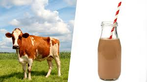 does chocolate milk comes from brown cows today com