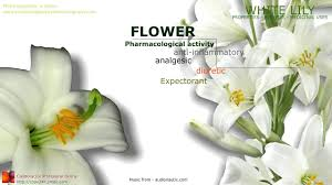 White Lily Flower Lily Flowers Medicinal Properties Benefits Of The Plant White