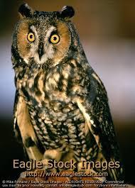 Barn Owl Photography Owl Photo Wildlife Photography By Eagle Stock Images Owl Photo