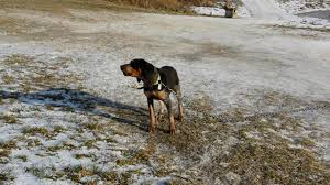 bluetick coonhound obedience bawl mouth bluetick coonhound female pup remington sounding off