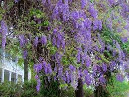 tree with purple flowers purple flower tree by cynthia48 redbubble
