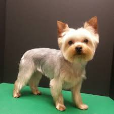 yorkshire terrier haircut pet trim yorkie groom dog grooming