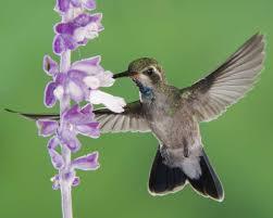 Hummingbird On A Flower - broad billed hummingbird audubon field guide