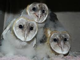 Where Does The Barn Owl Live Why Are Barn Owls Called U0027barn Owls U0027 Who Named Them That Way