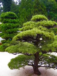 free stock photos rgbstock free stock images japanese tree 1