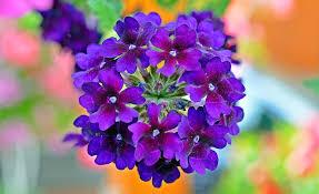 verbena flower free photo verbena flowers violet plant free image on
