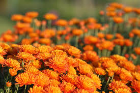 growing hardy mums chrysanthemums for your garden