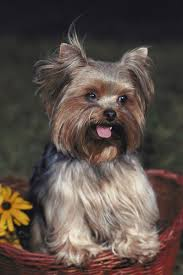 how to cut a yorkie poo s hair how to take care of a yorkie s hair around the eyes pets