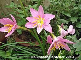 Rain Lily Gurgaon Gardener Rain Lilies Zephyranthes Blooming In Gurgaon