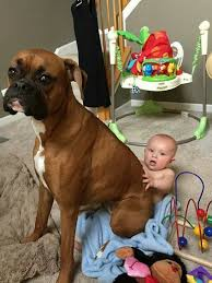 boxer dog training tips no lap is to small for a boxer dog training tips pinterest