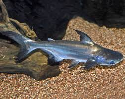 iridescent shark fish modern farming methods