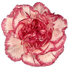 wholesale carnations carnations bicolor pink and white wholesale carnations