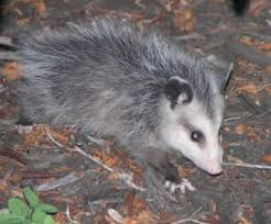 Possum In My Backyard Opossums Unsung Heroes In The Fight Against Ticks And Lyme