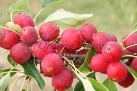 Online Fruit Trees For Sale - dolgo crab apple trees for sale buy online friendly advice