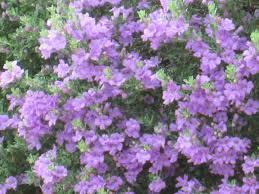 native texas plants for shade texas ranger plant u2013 tjs garden