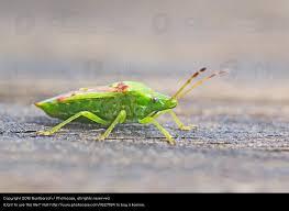 was ist das für ein insekt eine wanze oder was urlaub insekten wanze natur grün tier ein lizenzfreies stock foto photocase