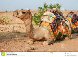 thar desert animals camel in the desert waiting for cameleer jaisalmer rajasthan