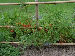 cherry tomatoes gardening with angus