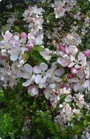 blossom trees crab apple from 6 95 buy trees