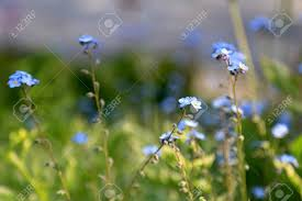 small blue flowers of forget me not myosotis shallow depth