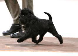 affenpinscher group affenpinscher dogs breeds tipo pinscher y schnauzer pets