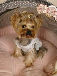 yorkshire terrier haircuts pictures yorkshire terrier haircut yorkies pinterest yorkshire
