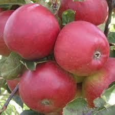 Online Fruit Trees For Sale - fruit trees for sale online yougarden