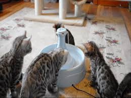 maplewood bengal kittens meet their automatic water fountain for