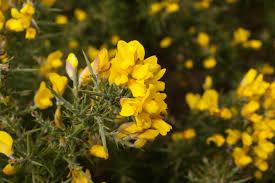 irish native plants ireland familypedia fandom powered by wikia
