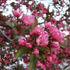 Profusion Flowering Crabapple - prairifire crabapple trees nature hills nursery