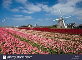 the netherlands lisse tulip flowers windmill stock photo