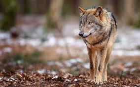 view download comment and rate this 1920x1200 wolf wallpaper