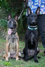 belgian shepherd black belgian shepherd puppies