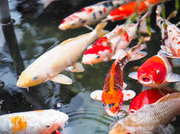ornamental koi fish stock photo 01 animal stock photo free