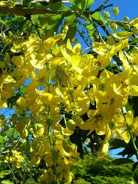 Yellow Flowering Trees - we bet you can u0027t name all 10 of these trees in your neighbourhood