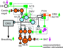 c1 neurons the body u0027s emts regulatory integrative and