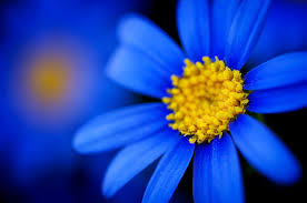 colors close to yellow flowers daisy blue flowers up daisies colors yellow macro close
