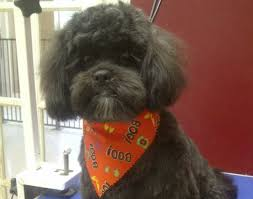 shih poo haircuts shihtzu poodle grooming in barrie ontario head to tail dog grooming