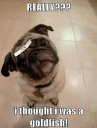 Pug Birthday Meme - pug memes funny happy birthday pug meme collection