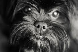affenpinscher white dogs and the city kristie lee photographer page 16