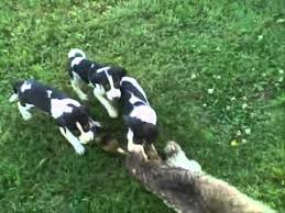 bluetick coonhound puppies for sale treeing walker puppies for sale youtube