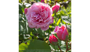 William Christie William Christie Rose Bush Ladybird Roses