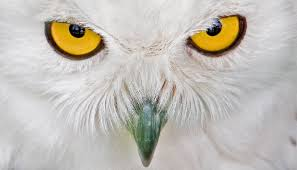 free owl eyes stock photo freeimages com