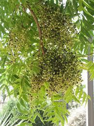 pistache pistacia chinensis in dallas fort worth