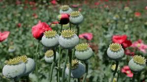 Opium by North Carolina Police Stumble Upon 500m Opium Producing Operation