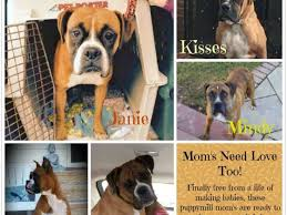 rescue a boxer dog saving the midwest puppy mill dogs pets u0026 animals youcaring