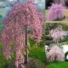 cherry tree seeds ebay