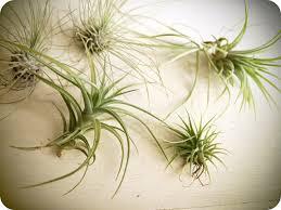 dear winsome air plants u0026 antiques