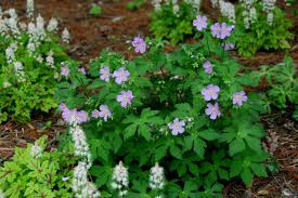 native plants of france how to grow wild geranium tips from the experts hgtv
